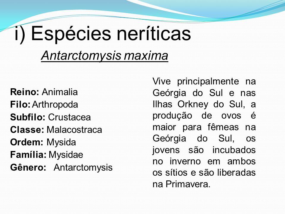 i) Espécies neríticas Reino: Animalia Filo: Arthropoda Subfilo: Crustacea Classe: Malacostraca Ordem: Mysida Família: Mysidae Gênero: Antarctomysis An