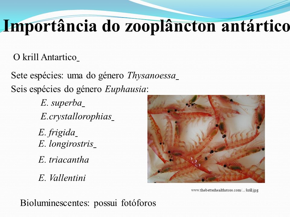 Importância do zooplâncton antártico O krill Antartico Sete espécies: uma do género Thysanoessa Seis espécies do género Euphausia: E. superba E.crysta