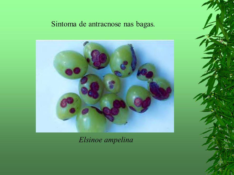 Sintoma de antracnose nas bagas. Elsinoe ampelina