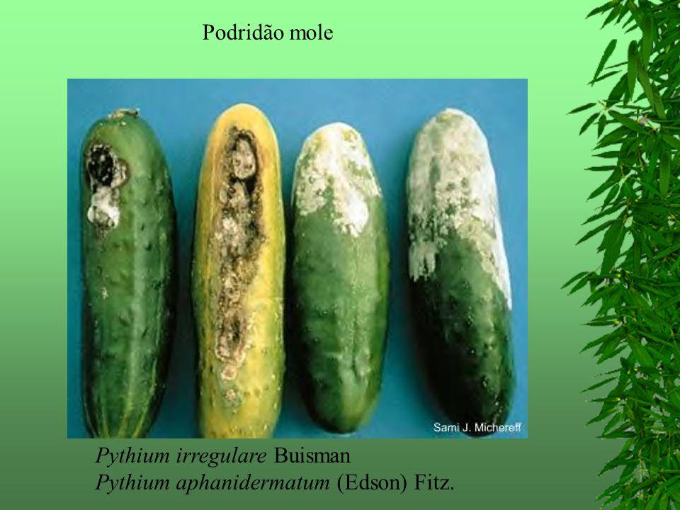Podridão mole Pythium irregulare Buisman Pythium aphanidermatum (Edson) Fitz.