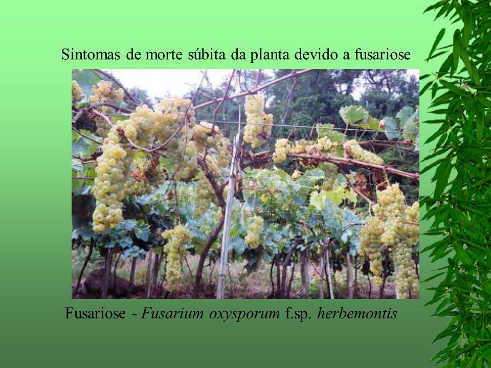 Fusariose - Fusarium oxysporum f.sp. herbemontis Sintomas de morte súbita da planta devido a fusariose