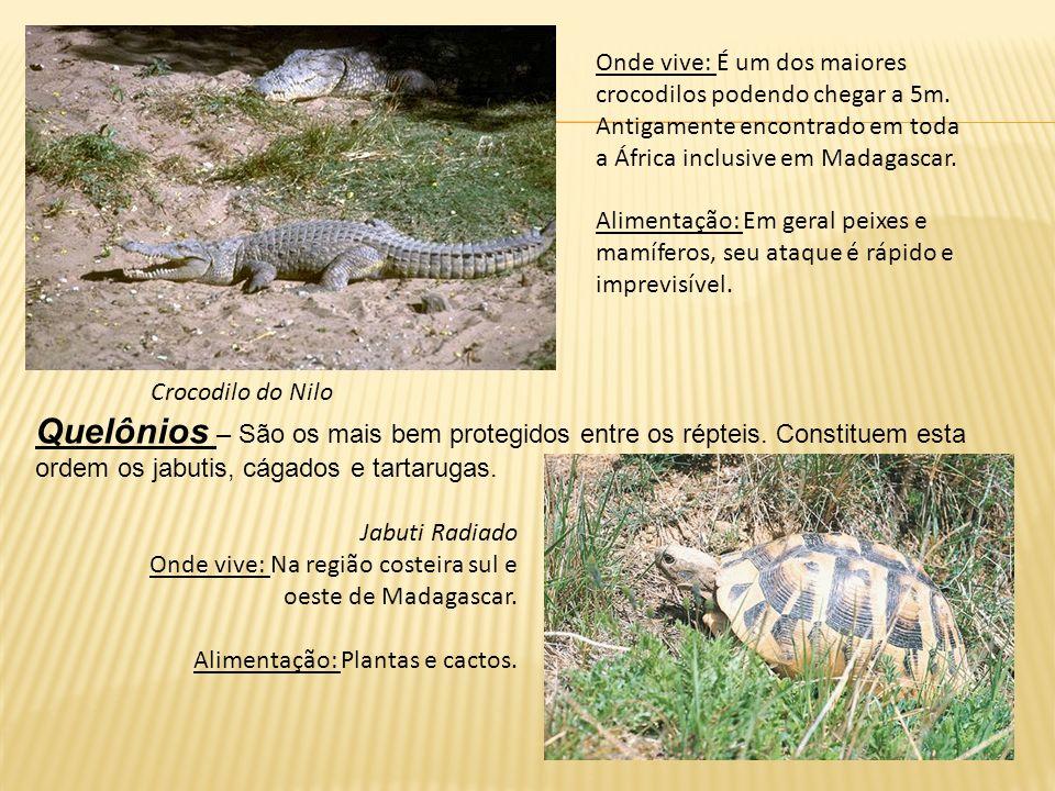 Onde vive: É um dos maiores crocodilos podendo chegar a 5m. Antigamente encontrado em toda a África inclusive em Madagascar. Alimentação: Em geral pei