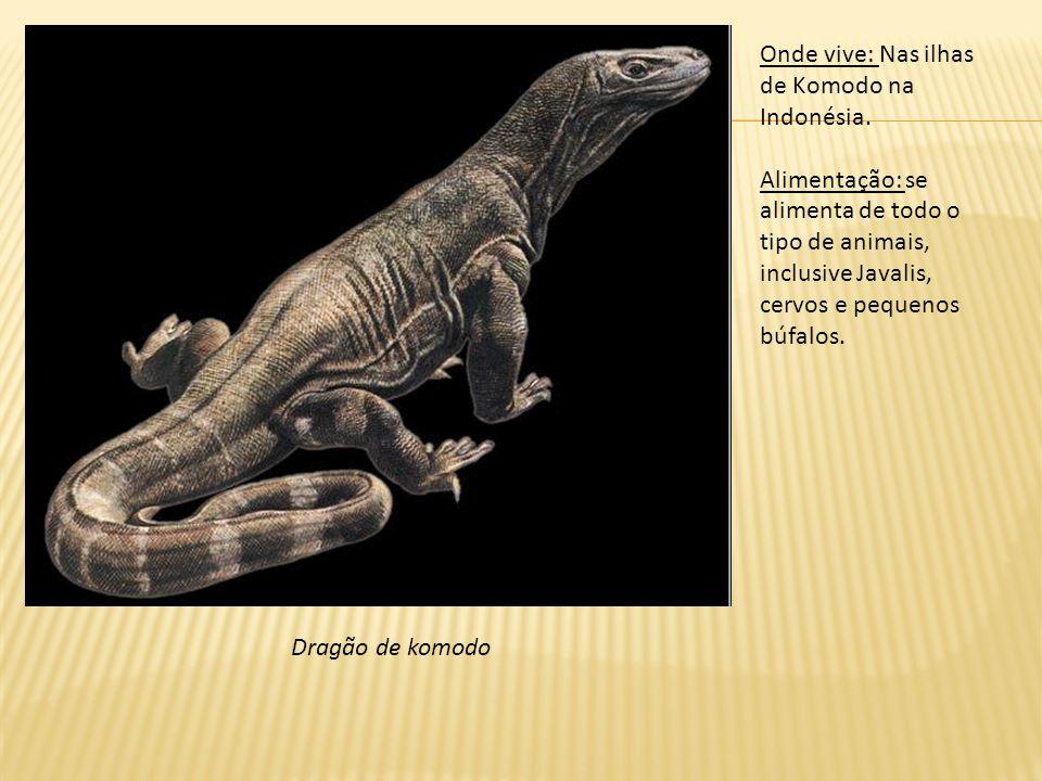Dragão de komodo Onde vive: Nas ilhas de Komodo na Indonésia. Alimentação: se alimenta de todo o tipo de animais, inclusive Javalis, cervos e pequenos