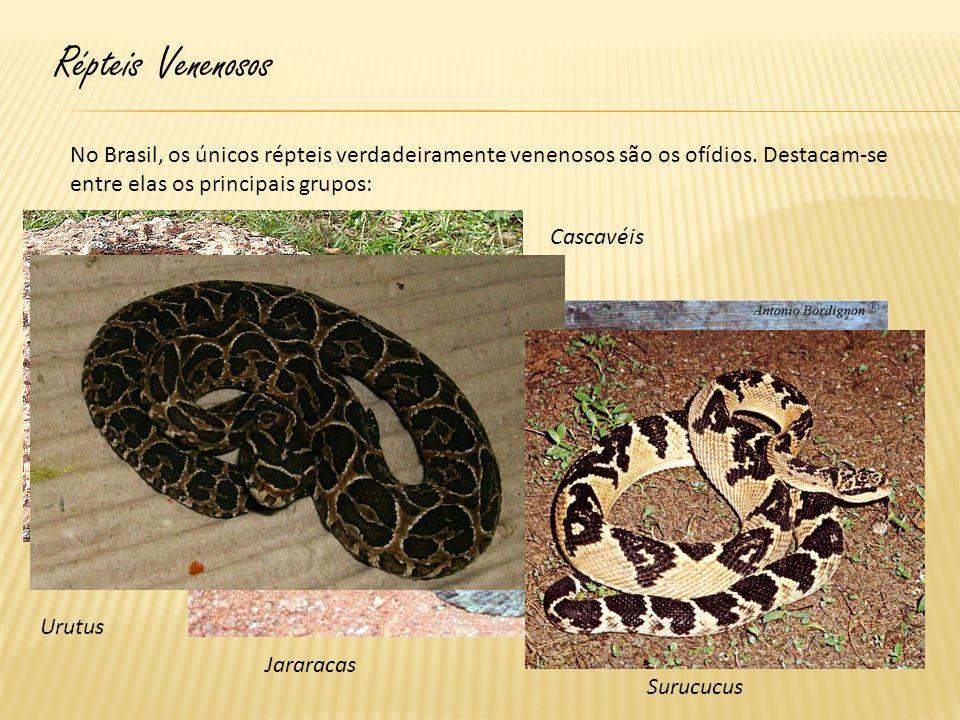 Répteis Venenosos No Brasil, os únicos répteis verdadeiramente venenosos são os ofídios. Destacam-se entre elas os principais grupos: Cascavéis Jarara