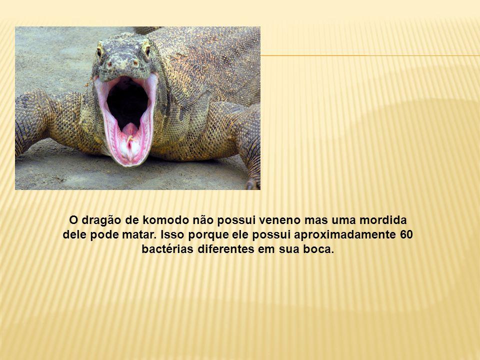 O dragão de komodo não possui veneno mas uma mordida dele pode matar. Isso porque ele possui aproximadamente 60 bactérias diferentes em sua boca.