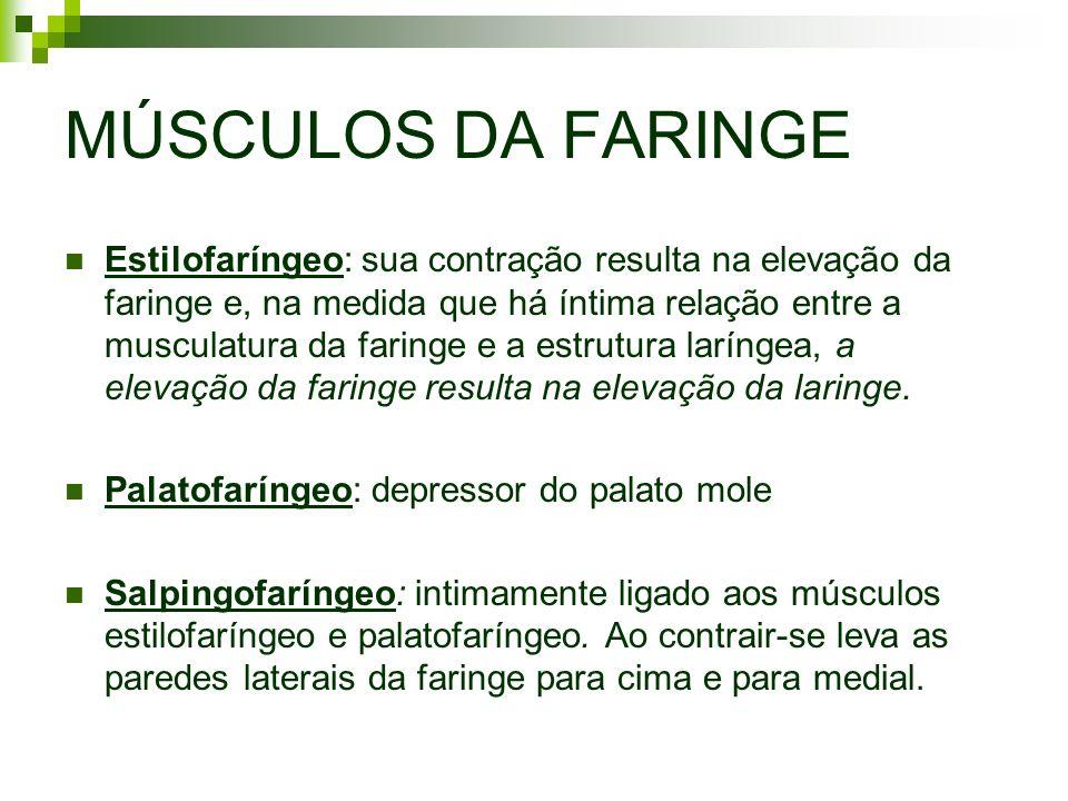 MÚSCULOS DA FARINGE Estilofaríngeo: sua contração resulta na elevação da faringe e, na medida que há íntima relação entre a musculatura da faringe e a