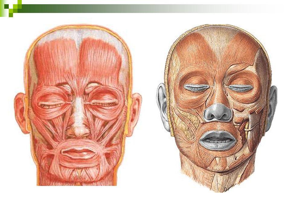 FACE - MÚSCULOS Levantador do ângulo da bocaEleva o ângulo da boca Orbicular da bocaMúsculo da boca.
