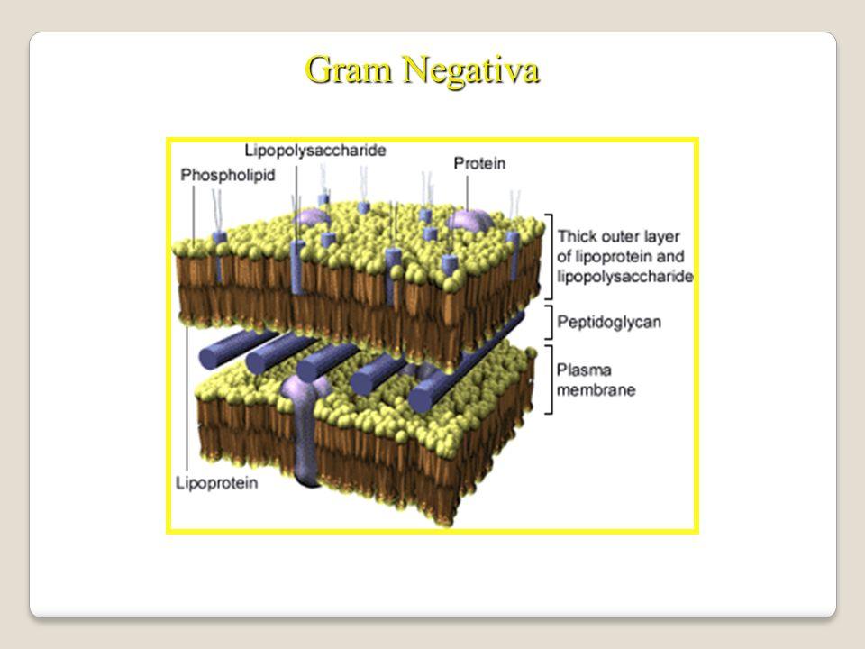 Gram Negativa