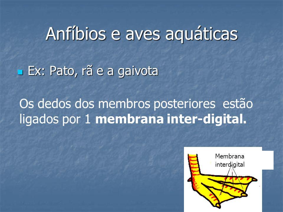 Anfíbios e aves aquáticas Ex: Pato, rã e a gaivota Ex: Pato, rã e a gaivota Os dedos dos membros posteriores estão ligados por 1 membrana inter-digita