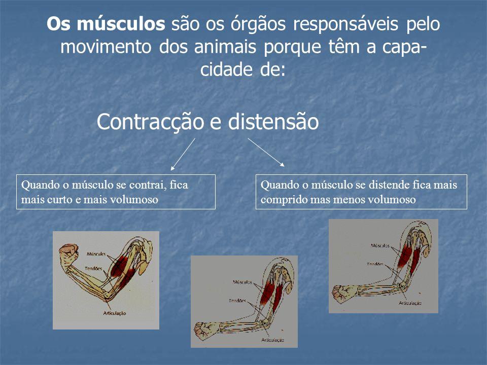 Os músculos são os órgãos responsáveis pelo movimento dos animais porque têm a capa- cidade de: Contracção e distensão Quando o músculo se contrai, fi