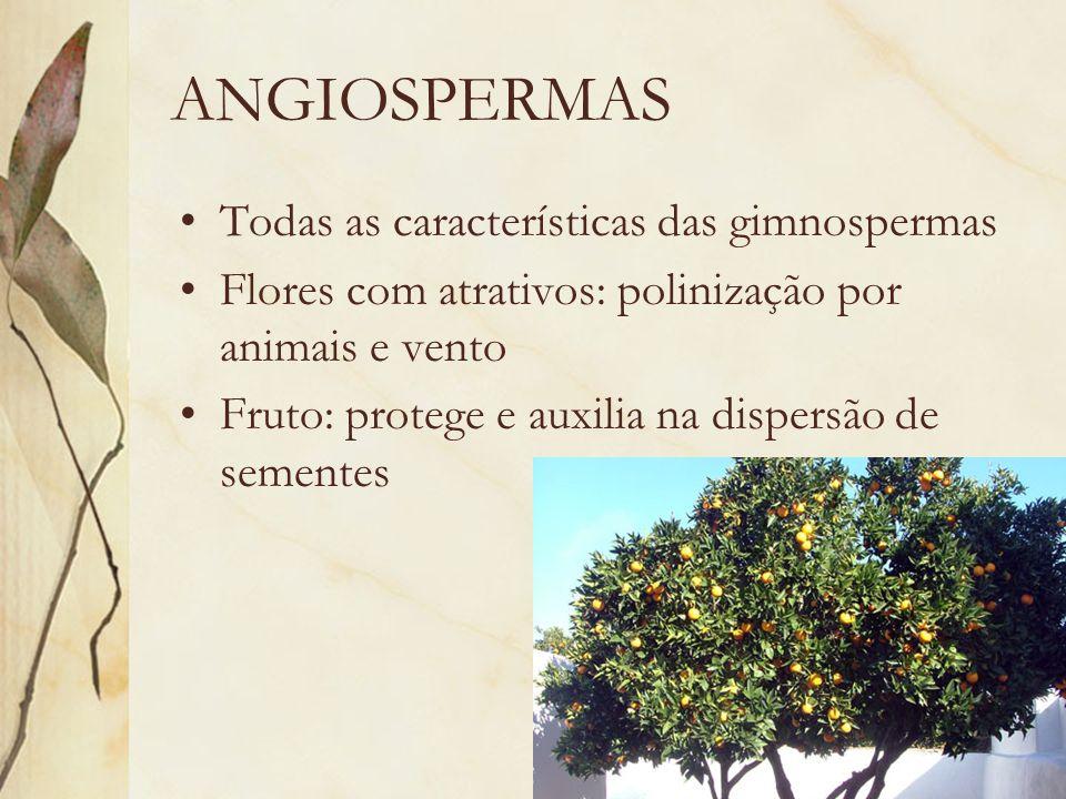 ANGIOSPERMAS Todas as características das gimnospermas Flores com atrativos: polinização por animais e vento Fruto: protege e auxilia na dispersão de