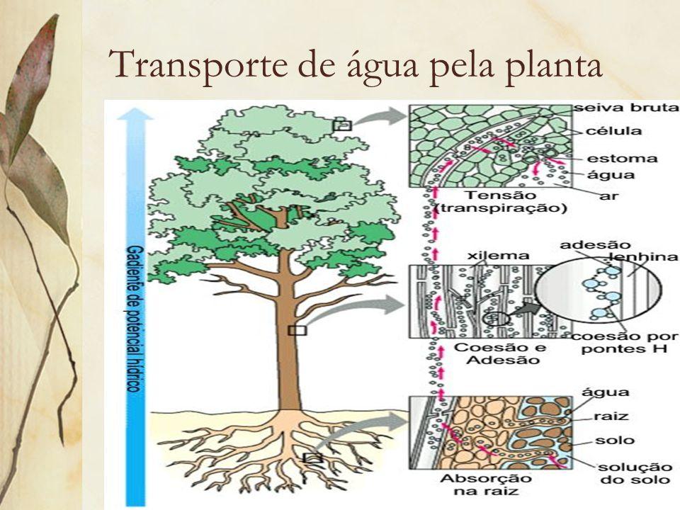 Transporte de água pela planta