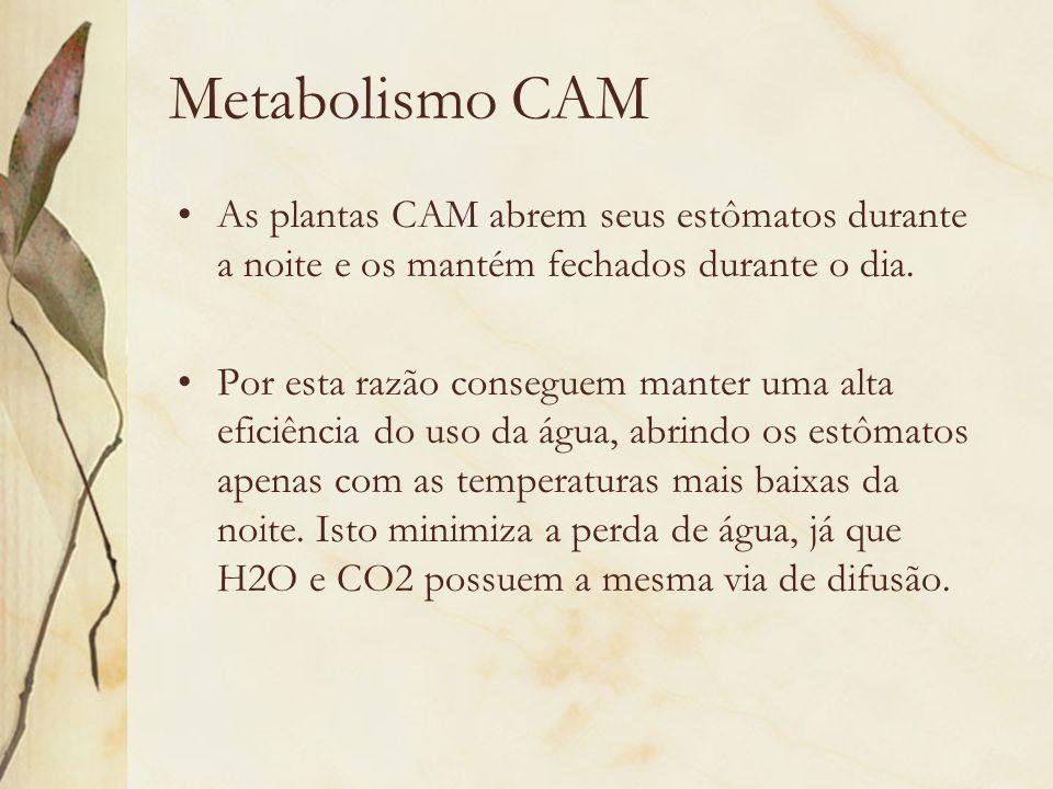 Metabolismo CAM As plantas CAM abrem seus estômatos durante a noite e os mantém fechados durante o dia. Por esta razão conseguem manter uma alta efici