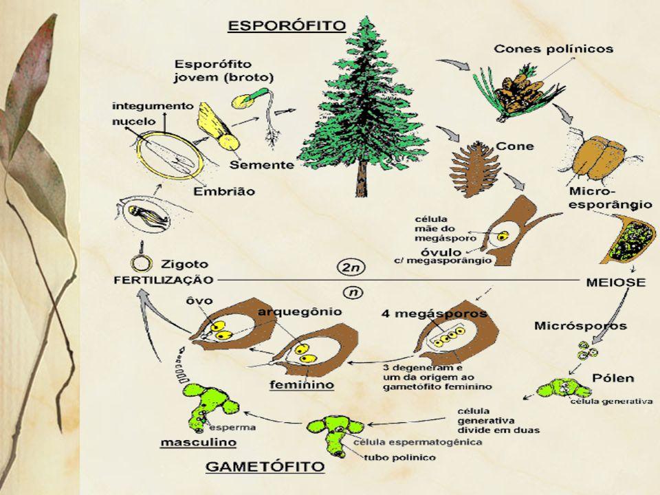 ANGIOSPERMAS Todas as características das gimnospermas Flores com atrativos: polinização por animais e vento Fruto: protege e auxilia na dispersão de sementes