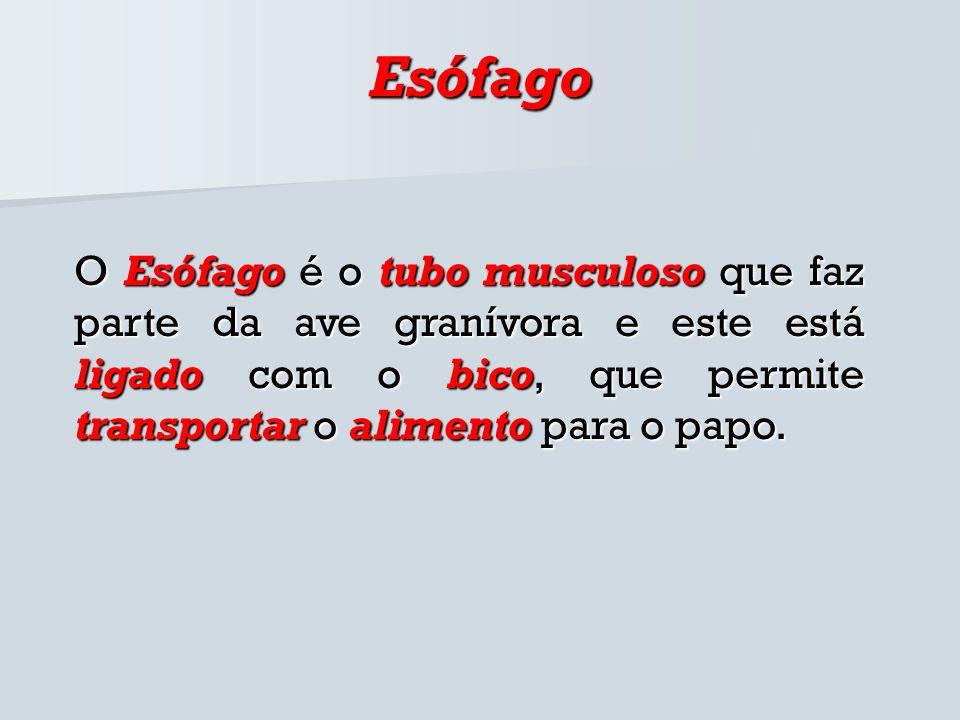 Esófago O Esófago é o tubo musculoso que faz parte da ave granívora e este está ligado com o bico, que permite transportar o alimento para o papo.