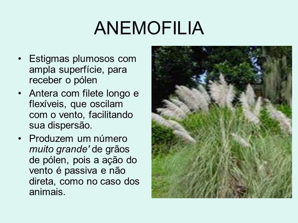 ANEMOFILIA Estigmas plumosos com ampla superfície, para receber o pólen Antera com filete longo e flexíveis, que oscilam com o vento, facilitando sua