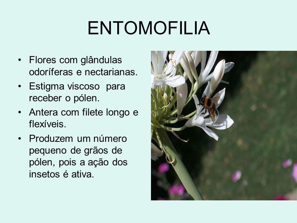 ENTOMOFILIA Flores com glândulas odoríferas e nectarianas. Estigma viscoso para receber o pólen. Antera com filete longo e flexíveis. Produzem um núme