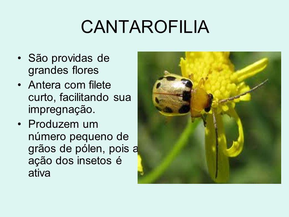 CANTAROFILIA São providas de grandes flores Antera com filete curto, facilitando sua impregnação. Produzem um número pequeno de grãos de pólen, pois a