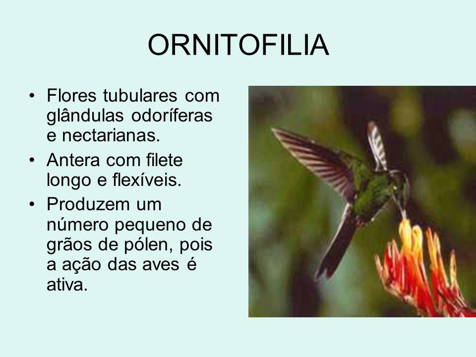 ORNITOFILIA Flores tubulares com glândulas odoríferas e nectarianas. Antera com filete longo e flexíveis. Produzem um número pequeno de grãos de pólen