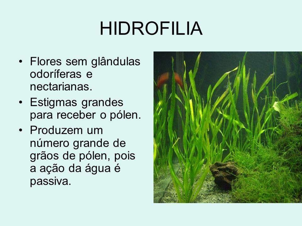 HIDROFILIA Flores sem glândulas odoríferas e nectarianas. Estigmas grandes para receber o pólen. Produzem um número grande de grãos de pólen, pois a a