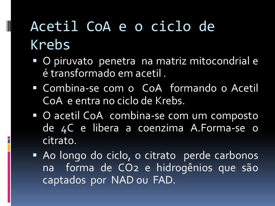 Acetil CoA e o ciclo de Krebs O piruvato penetra na matriz mitocondrial e é transformado em acetil. Combina-se com o CoA formando o Acetil CoA e entra