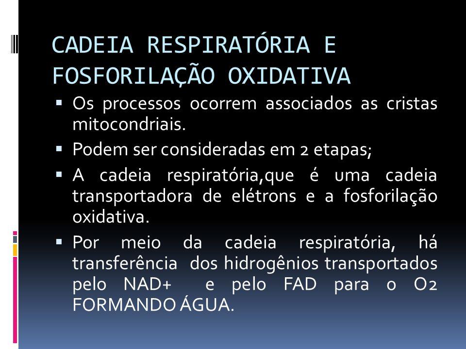 CADEIA RESPIRATÓRIA E FOSFORILAÇÃO OXIDATIVA Os processos ocorrem associados as cristas mitocondriais. Podem ser consideradas em 2 etapas; A cadeia re
