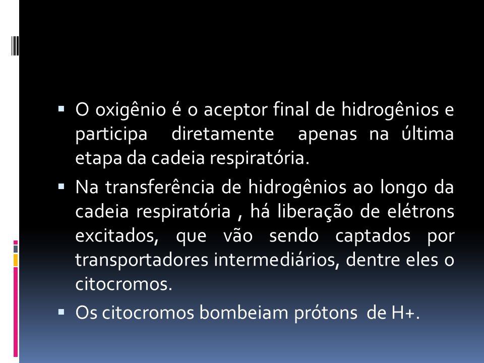 O oxigênio é o aceptor final de hidrogênios e participa diretamente apenas na última etapa da cadeia respiratória. Na transferência de hidrogênios ao