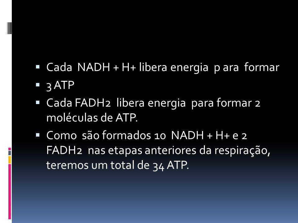 Cada NADH + H+ libera energia p ara formar 3 ATP Cada FADH2 libera energia para formar 2 moléculas de ATP. Como são formados 10 NADH + H+ e 2 FADH2 na