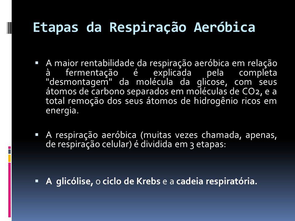 Etapas da Respiração Aeróbica A maior rentabilidade da respiração aeróbica em relação à fermentação é explicada pela completa