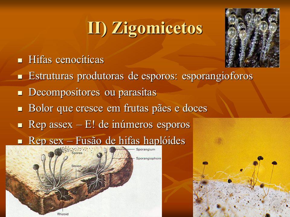 II) Zigomicetos Hifas cenocíticas Hifas cenocíticas Estruturas produtoras de esporos: esporangioforos Estruturas produtoras de esporos: esporangioforo