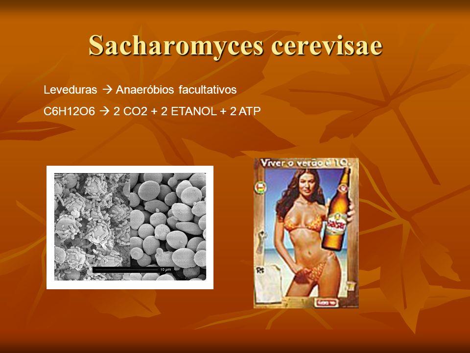 Sacharomyces cerevisae Leveduras Anaeróbios facultativos C6H12O6 2 CO2 + 2 ETANOL + 2 ATP