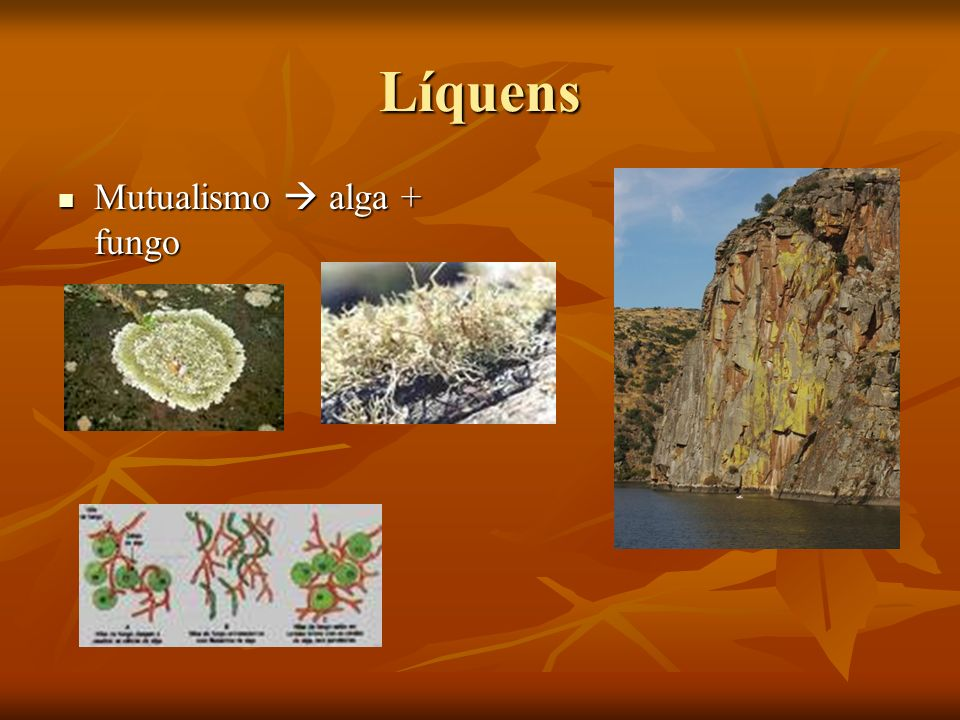 Líquens Mutualismo alga + fungo Mutualismo alga + fungo