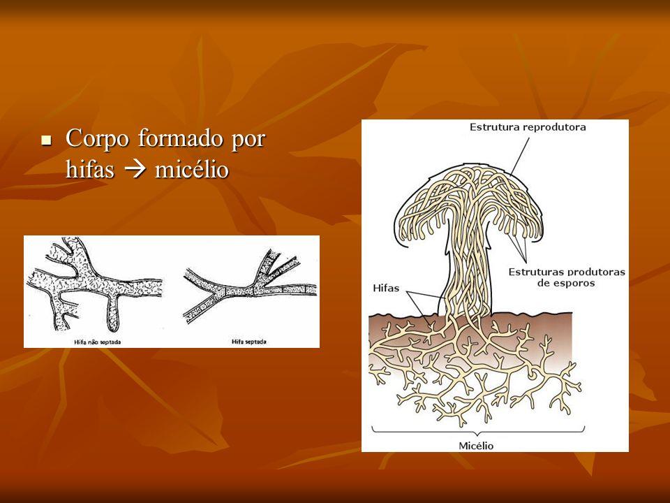 Corpo formado por hifas micélio Corpo formado por hifas micélio
