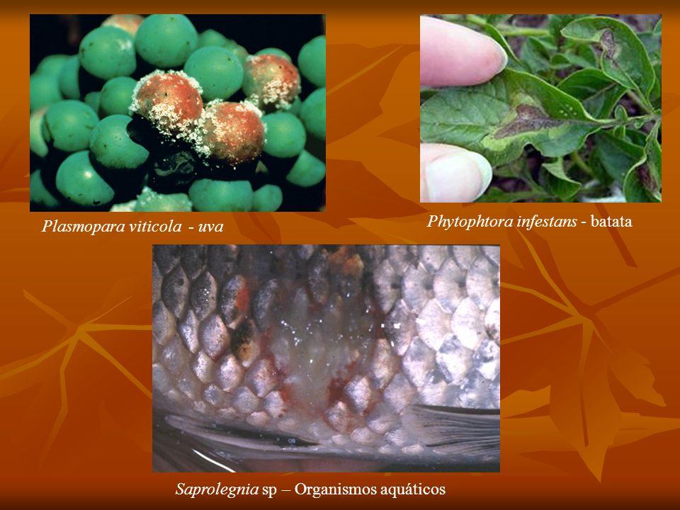 Plasmopara viticola - uva Phytophtora infestans - batata Saprolegnia sp – Organismos aquáticos