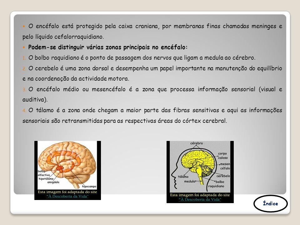 O encéfalo está protegido pela caixa craniana, por membranas finas chamadas meninges e pelo líquido cefalorraquidiano. Podem-se distinguir várias zona