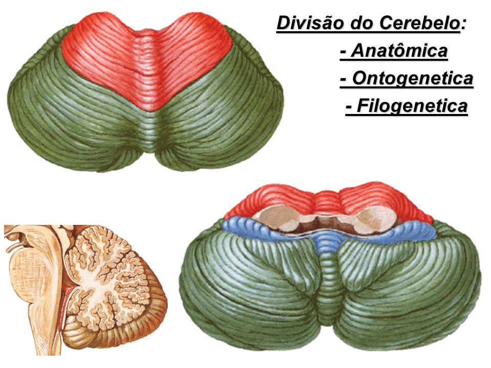 Divisão do Cerebelo: Divisão do Cerebelo: - Anatômica - Anatômica - Ontogenetica - Ontogenetica - Filogenetica - Filogenetica