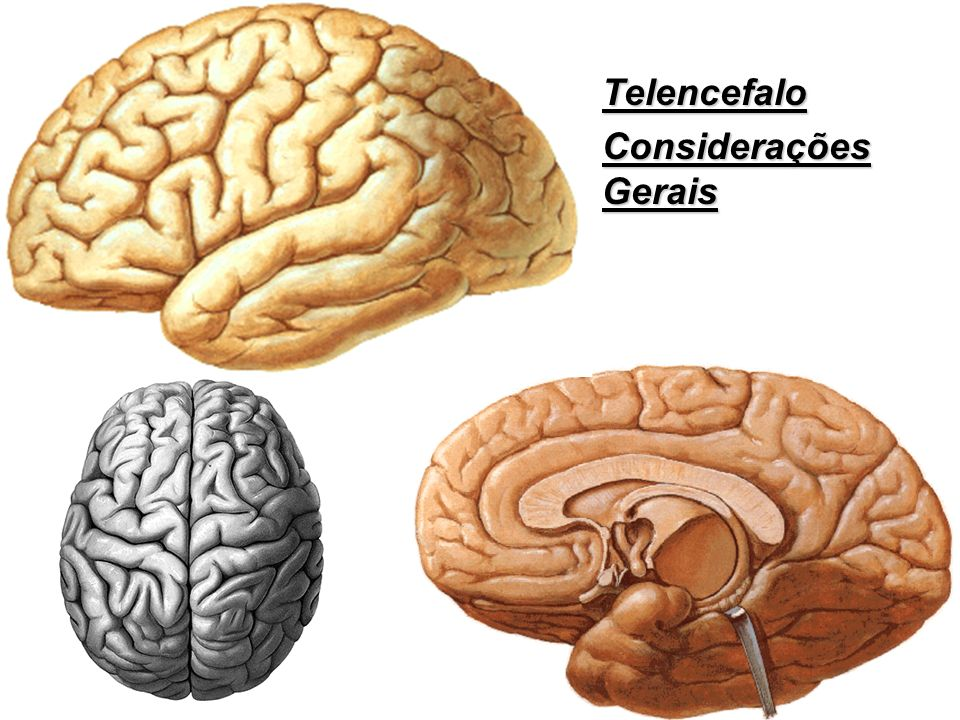 Telencefalo Considerações Gerais