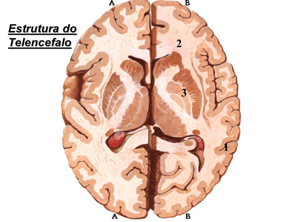 1 2 3 Estrutura do Telencefalo