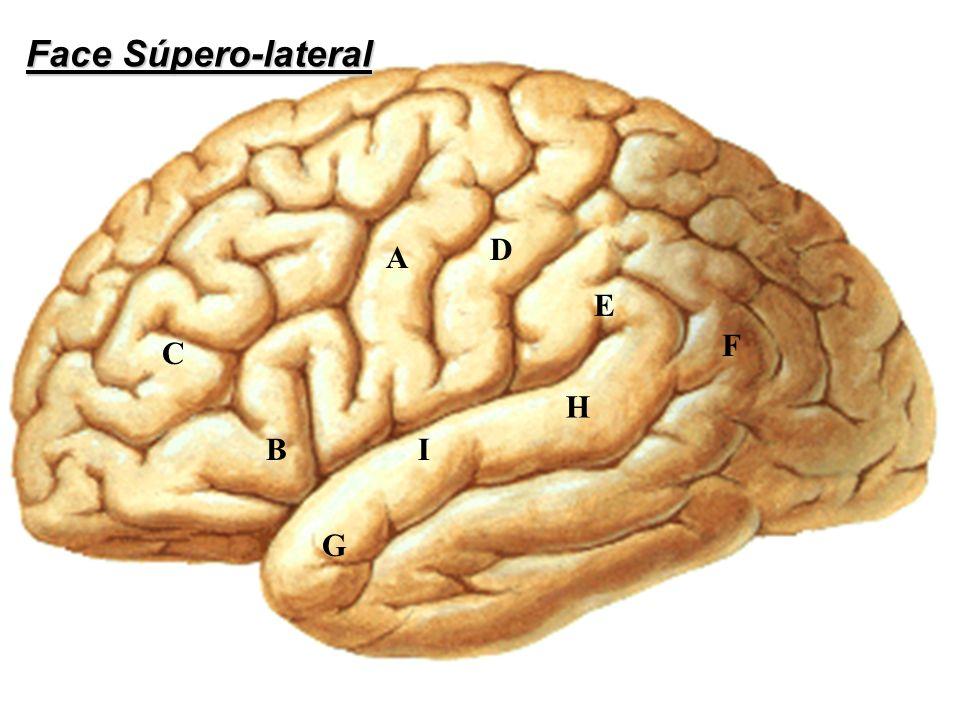 A E F D C BI G H Face Súpero-lateral