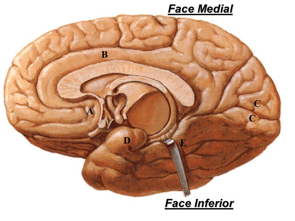 A D C C B E Face Inferior Face Medial