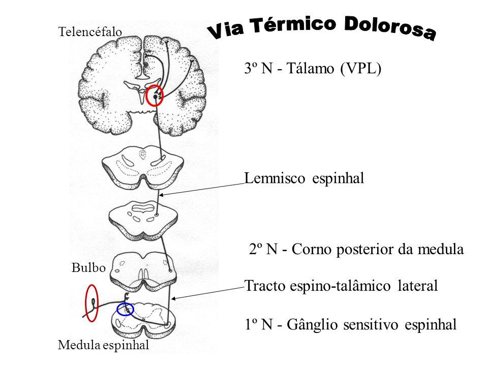 1º N - Gânglio sensitivo espinhal 2º N - Corno posterior da medula Tracto espino-talâmico lateral Lemnisco espinhal 3º N - Tálamo (VPL) Medula espinha