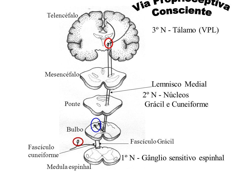 Medula espinhal Bulbo Ponte Mesencéfalo Telencéfalo 1º N - Gânglio sensitivo espinhal Fascículo cuneiforme Fascículo Grácil 2º N - Núcleos Grácil e Cu