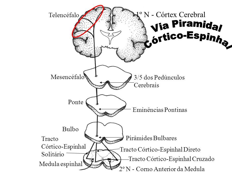 Eminências Pontinas 1º N - Córtex Cerebral Medula espinhal Bulbo Ponte Mesencéfalo Telencéfalo 3/5 dos Pedúnculos Cerebrais Pirâmides Bulbares Tracto