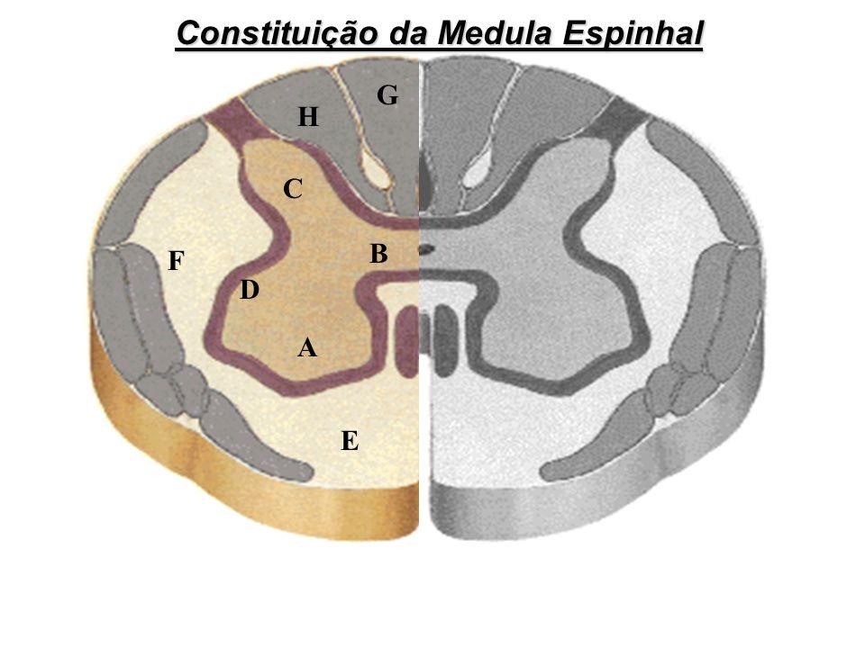 A E F D C B H G Constituição da Medula Espinhal