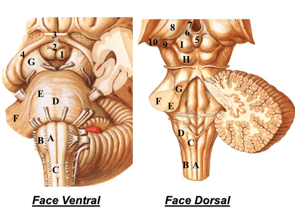 A E F D C B G A E F D C B H G 10 2 1 I 6 5 4 3 9 8 7 Face Ventral Face Dorsal