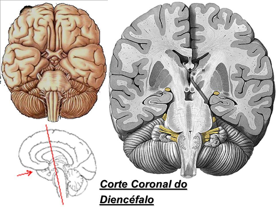Corte Coronal do Diencéfalo