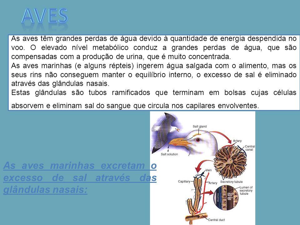 As aves têm grandes perdas de água devido à quantidade de energia despendida no voo. O elevado nível metabólico conduz a grandes perdas de água, que s