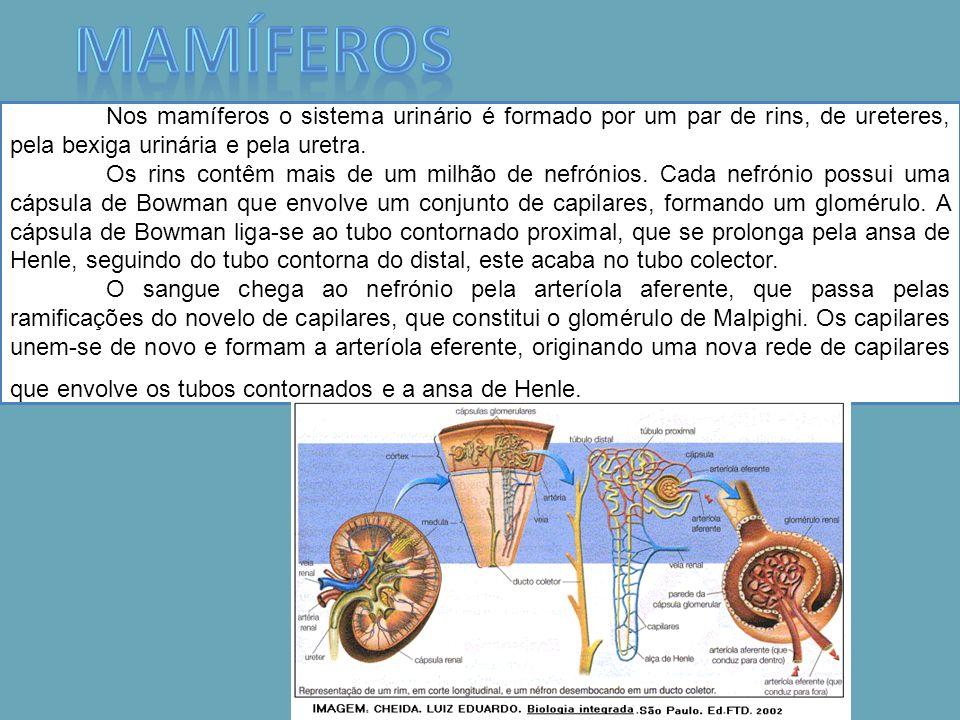 Nos mamíferos o sistema urinário é formado por um par de rins, de ureteres, pela bexiga urinária e pela uretra. Os rins contêm mais de um milhão de ne