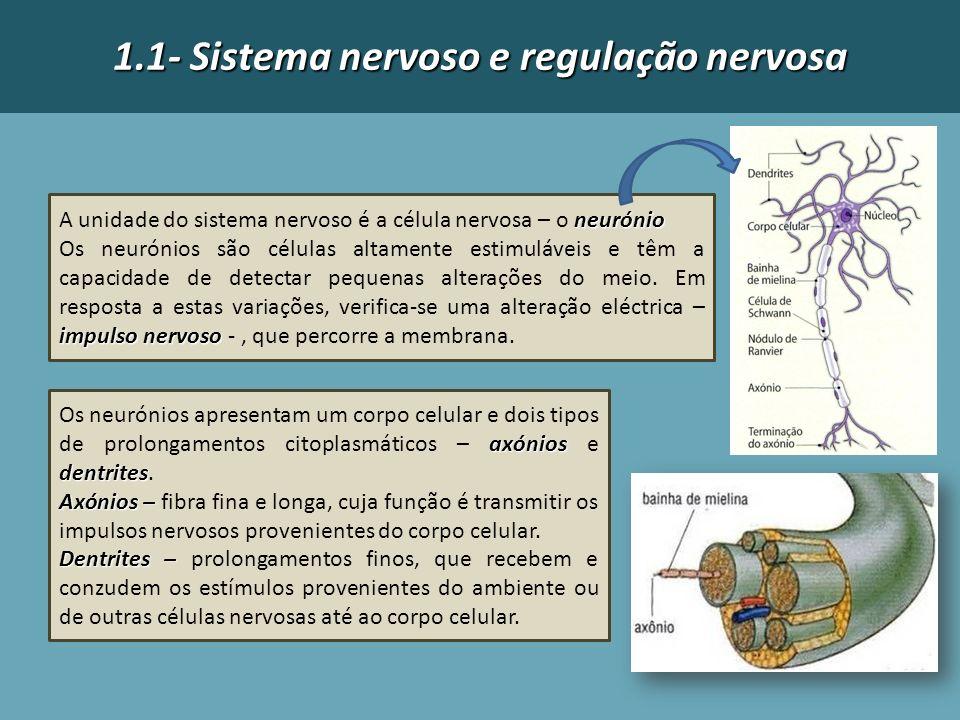 1.1- Sistema nervoso e regulação nervosa neurónio A unidade do sistema nervoso é a célula nervosa – o neurónio impulso nervoso Os neurónios são célula
