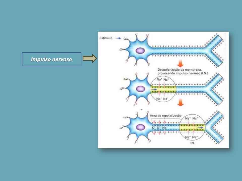 fluido extracelular O fluido extracelular que rodeia os neurónios apresenta elevadas concentrações de Na +, mas baixa concentração de IO.
